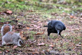 Crow_and_squirrel