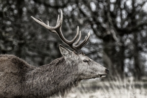 Richmond_Park_deer_2