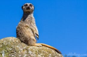 meerkat_3