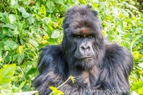 Gorillas-27-Edit