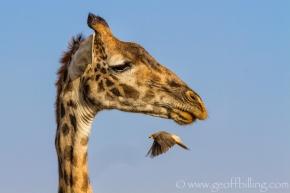 Serengeti-712-Edit